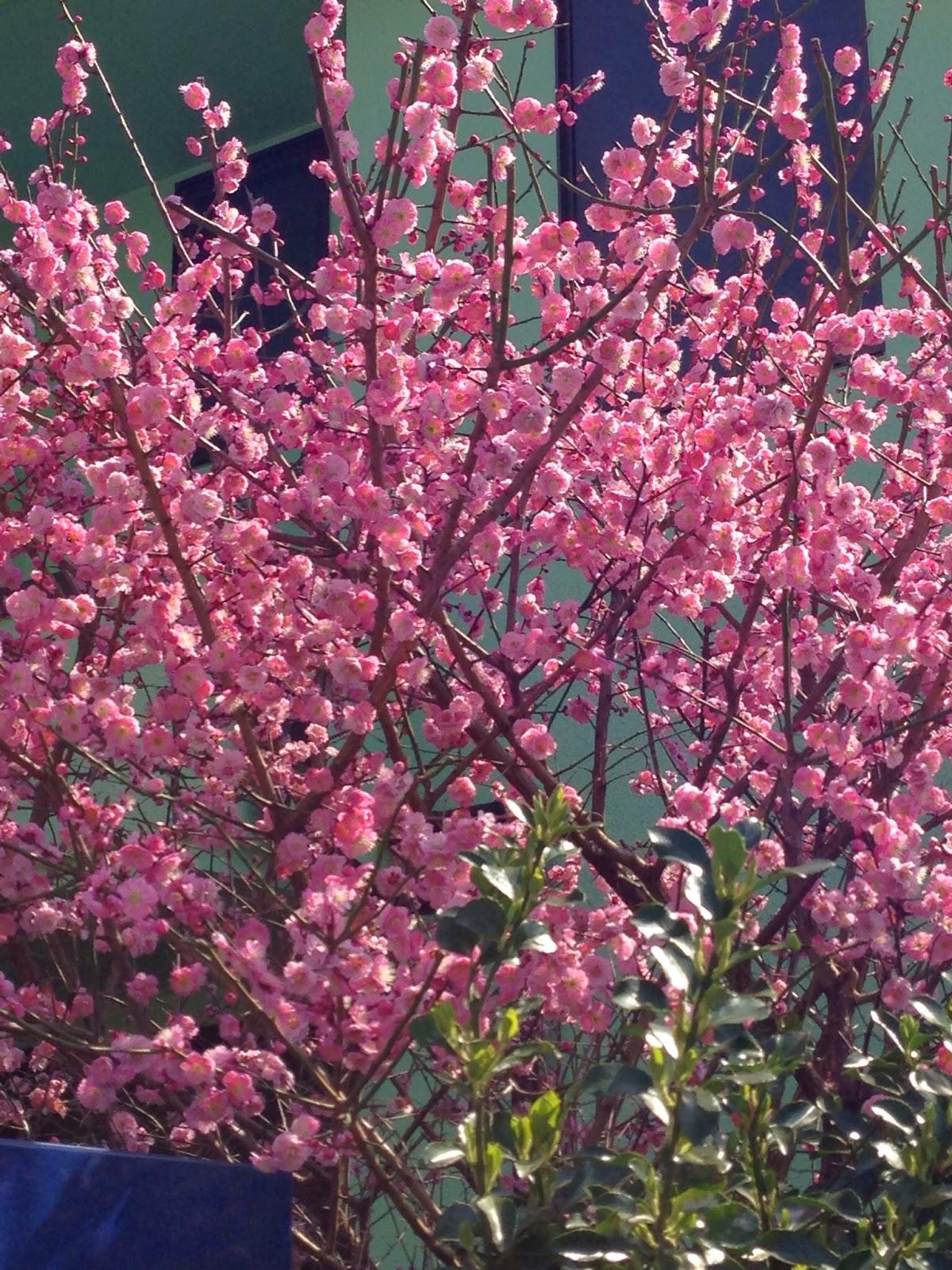 散歩で見つけた梅と桜