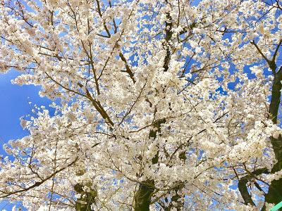 今年の桜の写真